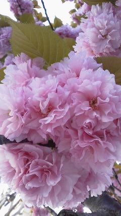 今は八重桜